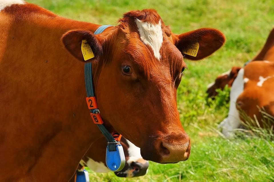 Корова, ферма, молоко, сельское хозяйство